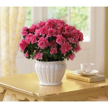 Pretty in pink azalea in louisville oh dougherty flowers inc pretty in pink azalea plant mightylinksfo