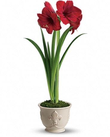 Teleflora's Merry Amaryllis Bouquet