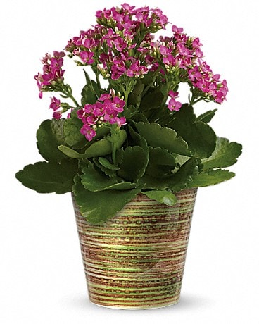 Simply Happy Kalanchoe Plant by Teleflora Plant