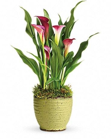 Teleflora S Spring Calla Lily Plant In Orlando Fl Harry S Famous