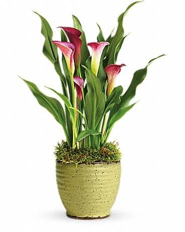 Teleflora S Spring Calla Lily Plant In Jefferson Wi Wine Roses