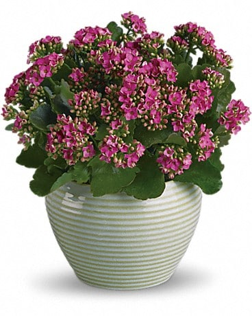 Bountiful Kalanchoe Plant