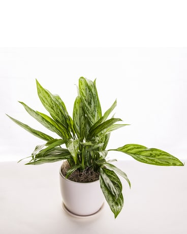 Chinese Evergreen