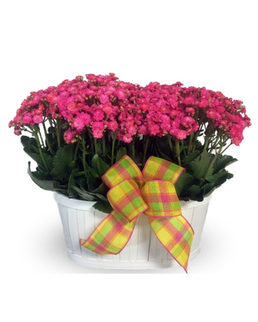 Double Kalanchoe Basket