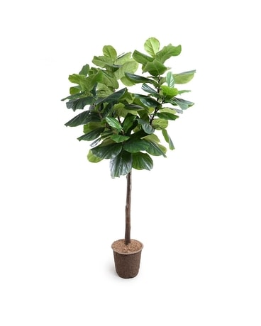 New Growth Fiddle Leaf Fig Tree Gifts