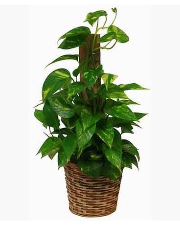 Midwood Flower Shop Pothos Plant