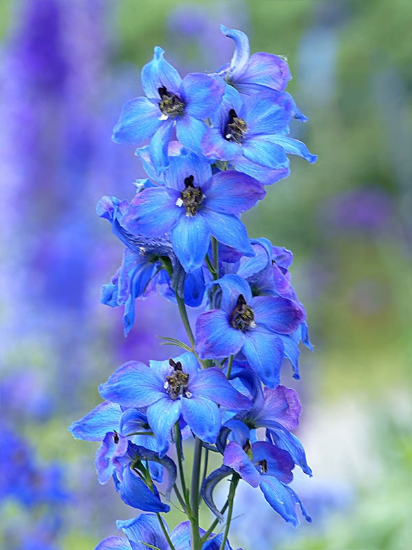 Delphinium or Larkspur is the July Flower of the Month