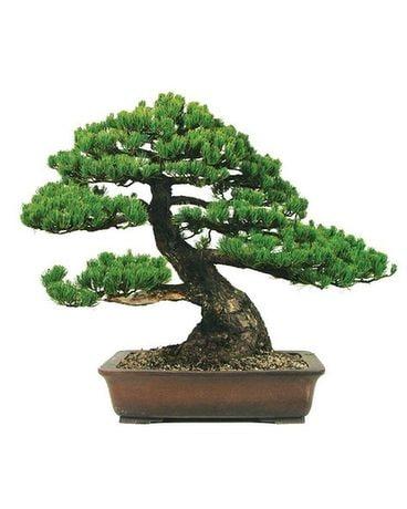 Bonsai Tree In Virginia Beach Va Virginia Beach Florist Inc