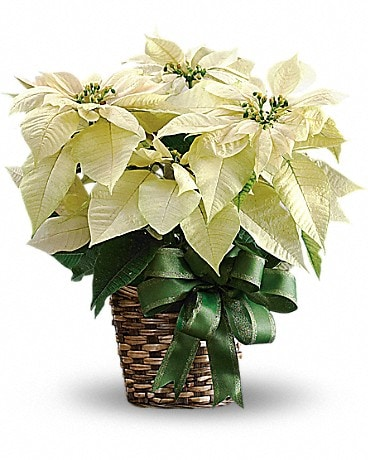 White Poinsettia 6 Bouquet
