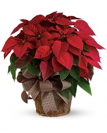 Large Red Poinsettia  T122-3A Bouquet
