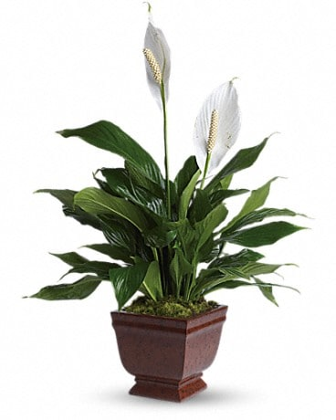 Lovely One Spathiphyllum Plant Plant