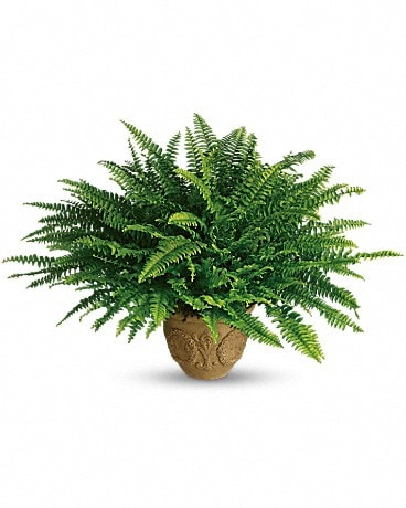 Teleflora's Heartwarming Thoughts Boston Fern Bouquet
