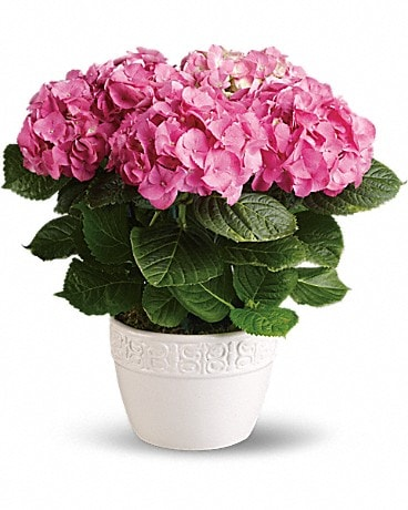 Happy Hydrangea - Pink or White Plant