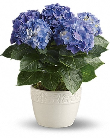 Happy Hydrangea - Blue/Purple Plant