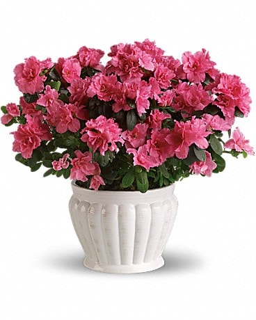 Pretty In Pink Azalea Plant