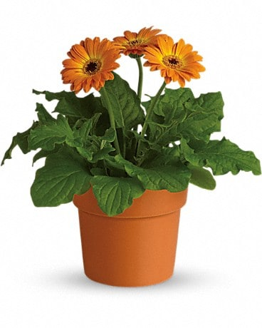Rainbow Rays Potted Gerbera - Orange Plant