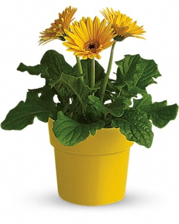 Rainbow Rays Potted Gerbera - Yellow Plant