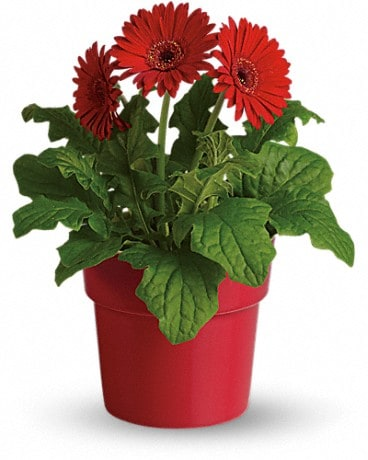 Rainbow Rays Potted Gerbera - Red Plant
