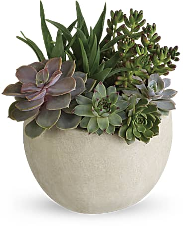 William Paul's Desert Beauty Succulent Garden Plant