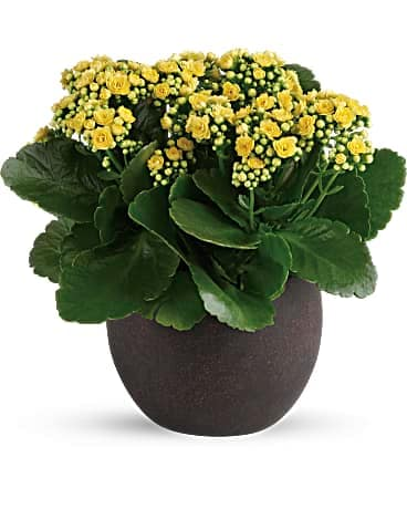Flowers & More Forever Yellow Kalanchoes