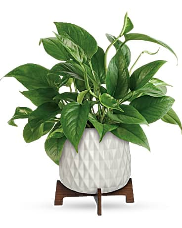 Teleflora's Lush Leaves Pothos or Peace Lily Plant Bouquet