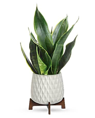 House of Flora's Growing Art Sansevieria Plant Bouquet