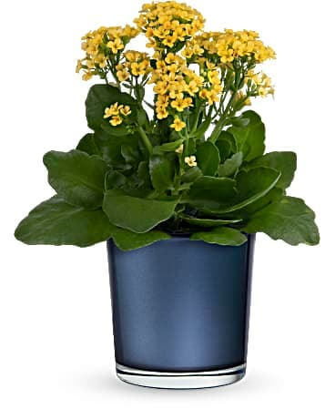 Teleflora's Golden Morning Plant