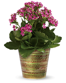 Simply Happy Kalanchoe Plant - Plant