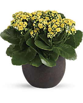 Forever Yellow Kalanchoes - Plant