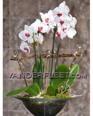 Phaleanopsis ''Butterfly'' Orchid Planter