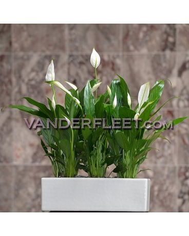 Peace Plant in White Ceramic