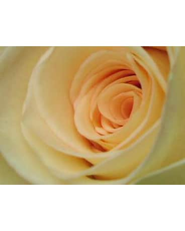 Cream 1dz. Long Stem Roses