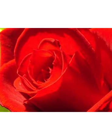 Red Freedom 1dz. Long Stem Roses