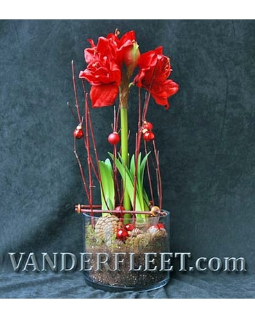 Amaryllis in Glass Exclusive