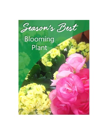 Season's Best Blooming Plant