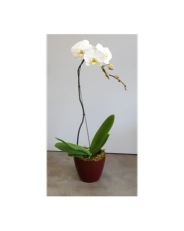 Olivia's Orchid