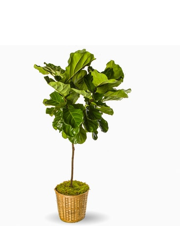 Fiddle Leaf Ficus