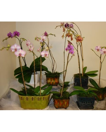 Hybrid Orchid Plants