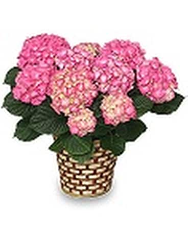Potted Pink Hydrangea