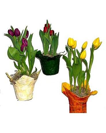 Quick View Tulip Plant