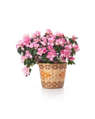 Buds and Blooms Azalea in a Basket