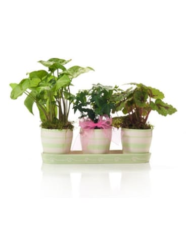 Buds and Blooms Green Plant Trio