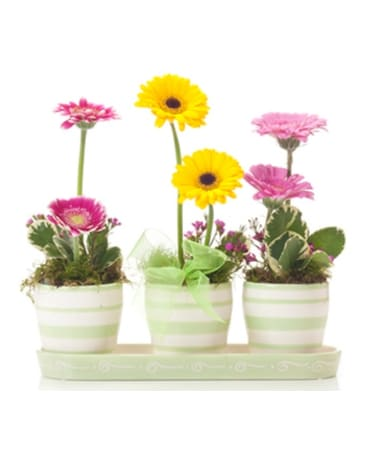 Buds and Blooms Gerbera Daisy Trio