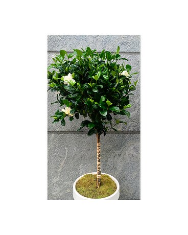Gorgeous Gardenia Topiary