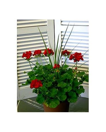 Patio Geranium Arrangement