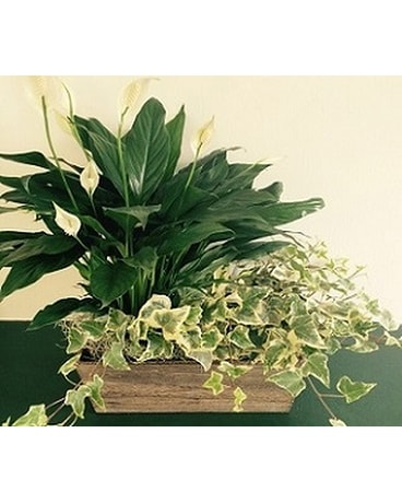Peace Lily and Ivy Planter