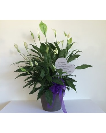 Peace Lily with Garden Stone