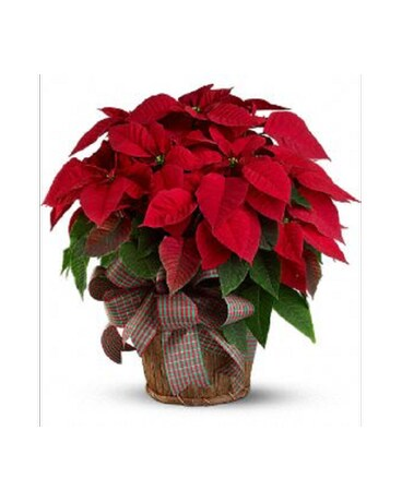 6.5 Red Poinsettia