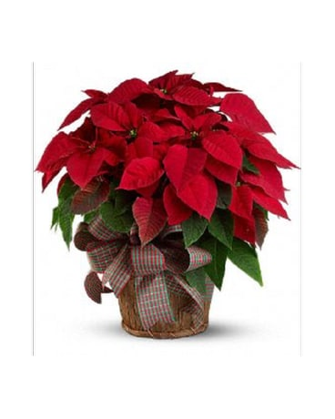 8.5 Red Poinsettia