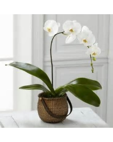 White Plalaenopsis Orchid